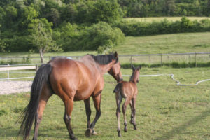 Paddock et chevaux